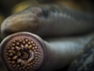 Molecules from lampreys' immune systems carry cancer drugs to mouse brains