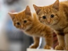 Feline genetic mapping could yield new treatment insights