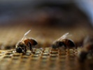Vaccinating queen bee could protect entire hive