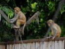在猴子的猴子身上。公园可以发送病毒病毒