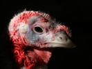 Pilot may be in trouble after air-dropping turkeys at Ark. festival