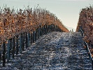 Cold weather challenges Italian vineyards