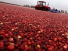 US cranberry growers seek to create new demand