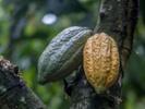 Cargill devotes over $125M to improve cocoa supply chain