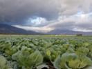 Aussie researchers put robotics to work in veggie fields