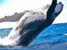 Whale genome study yields insight into cancer resistance