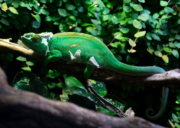 A long-lost chameleon was found
