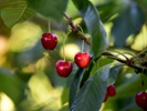 Cherry farming turns sour amid Australian water shortage