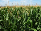 Commentary: Biotech can boost corn crop yield