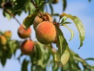 Wash. peach growers expect a sweet season