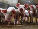 Researchers study pig welfare using facial recognition tech