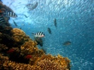 Genetic methods could help restore coral reefs