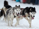 Were humans breeding sled dogs 9,000 years ago?