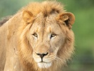Lions at Denver Zoo infected with SARS-CoV-2