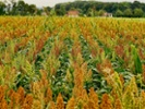 Scientists to seek the source of sorghum's sturdiness