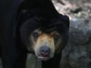 Sun bears communicate via facial mimicry