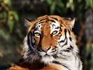 More tigers live in captivity than in the wild