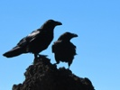 Minn. city staff work to ward off murder of crows