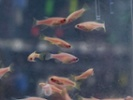 Studying fish depression could help humans