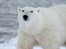 Polar bears may use tools to help them kill walruses