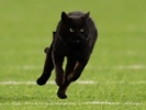 The Dallas Cowboys add a black cat to the team